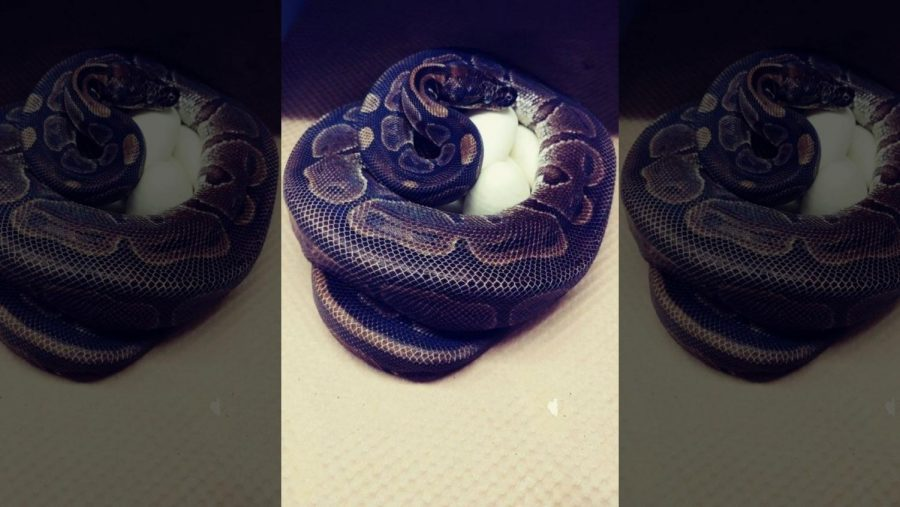 Female Python Lays Eggs Without Male